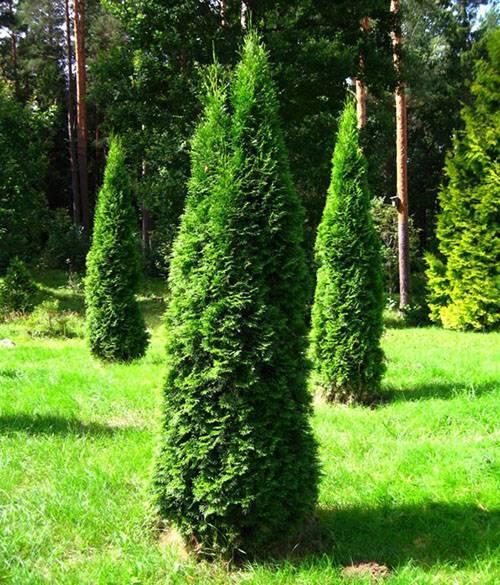 Туя хвойное или лиственное дерево