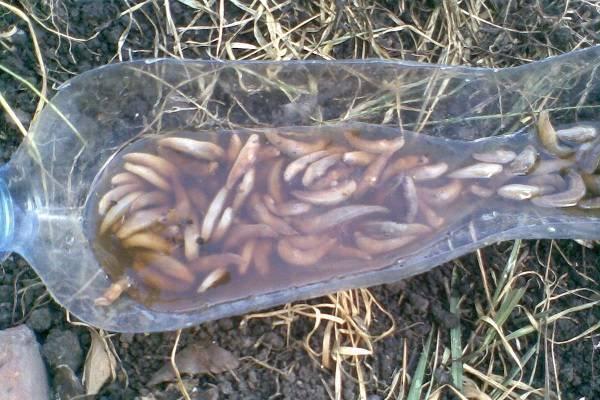 Как избавиться от слизней в огороде осенью