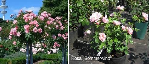 Овеян роза