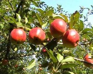 Сорт яблок ред