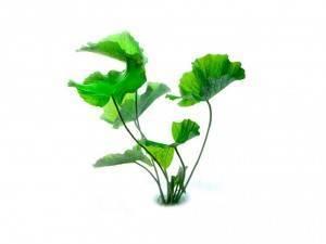 Нимфея зеленая