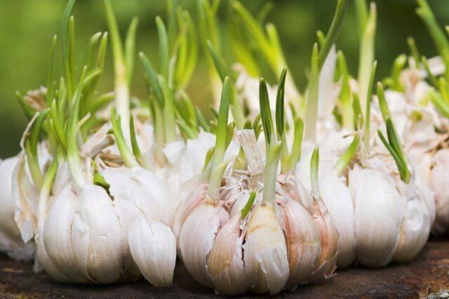 Можно ли посадить зимний чеснок ранней весной