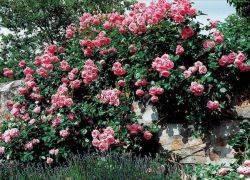 Как подготовить плетущиеся розы к зиме