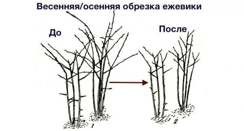 Выращивание ежевики в сибири