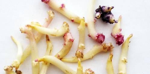 Как получить семена картофеля