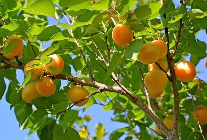 С какими деревьями можно сажать вишню
