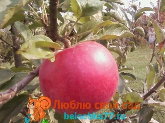 Как выглядит яблоко