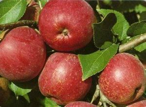 Яблони сорта с фото в украине