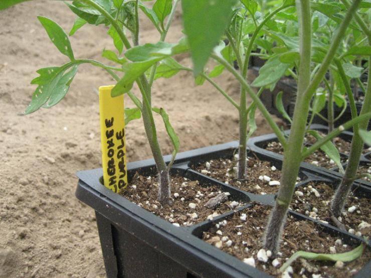 Как подкормить рассаду помидор
