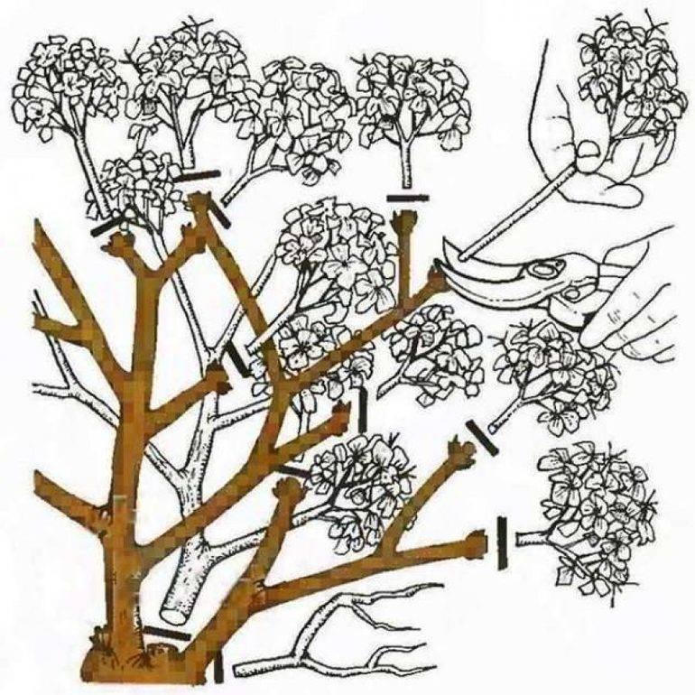 Осенняя обрезка гортензии метельчатой