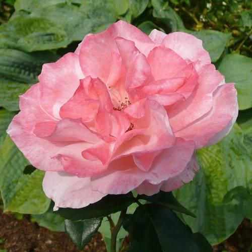 Роза огни москвы