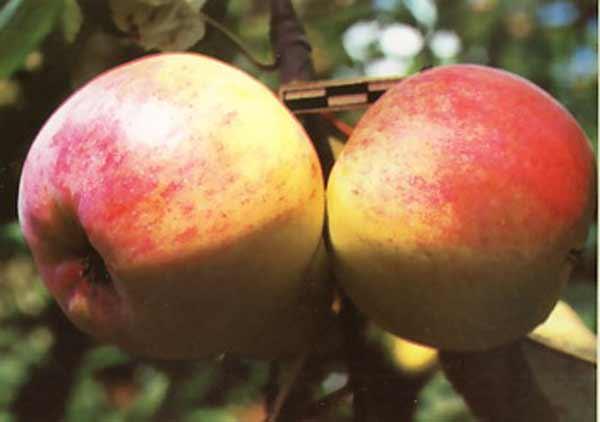 Яблоня скрижапель