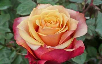Роза допотер
