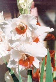 Чем обработать луковицы гладиолусов от трипса