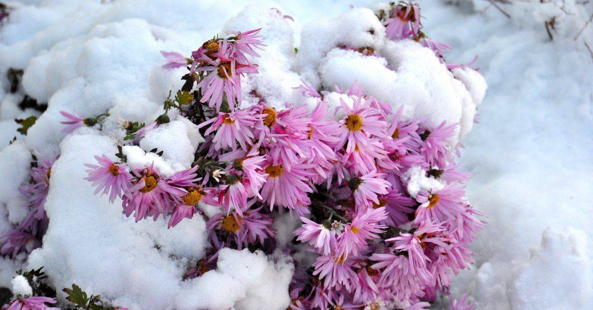 Подготовка многолетников к зиме
