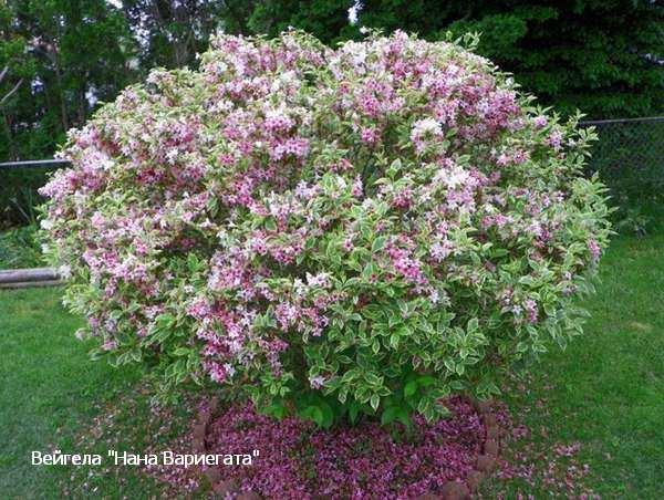 Цветущие кусты для сада фото с названиями