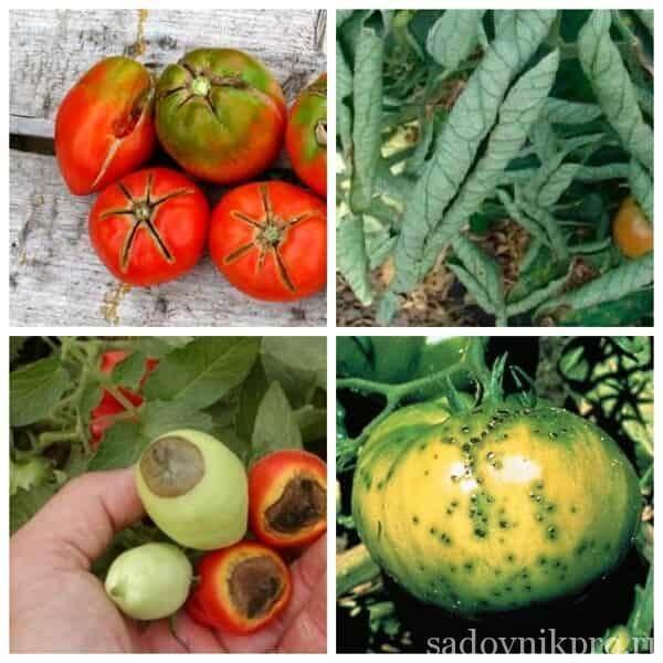 Болезни помидоров фото и их лечение