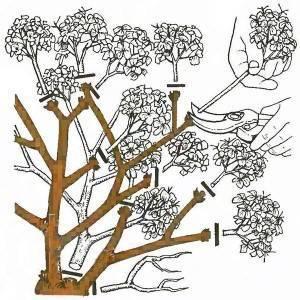 Гортензия садовая укрытие на зиму