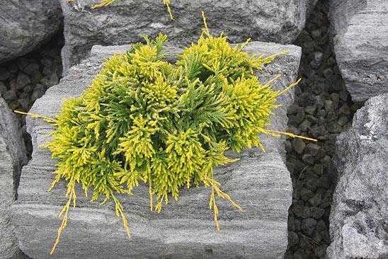 Стелющиеся хвойные растения с названиями и фото