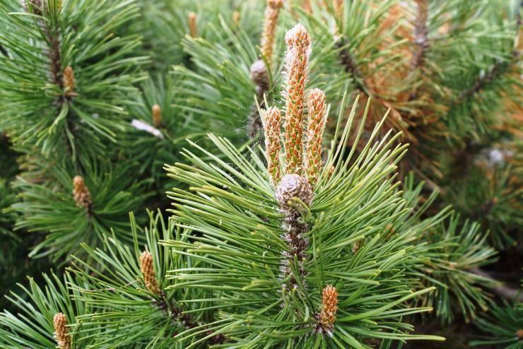 Зимняя посадка хвойных деревьев