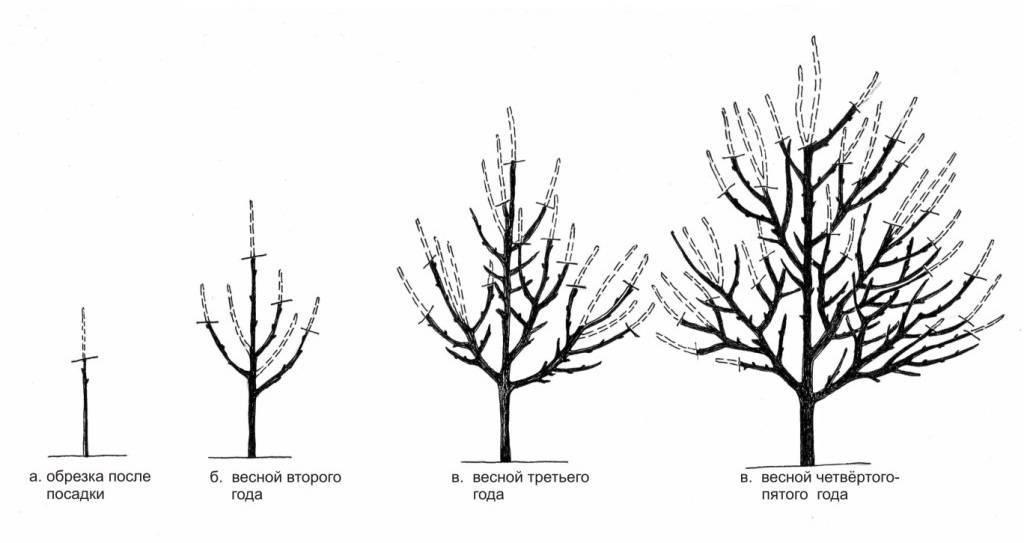 Как правильно обрезать абрикосовое дерево