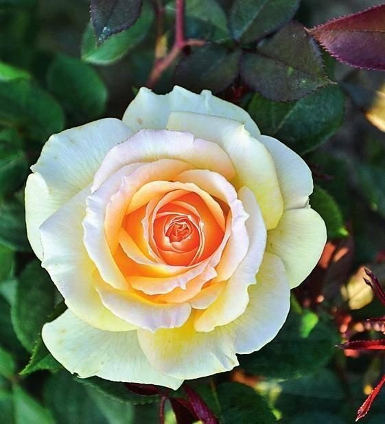 Самые душистые розы