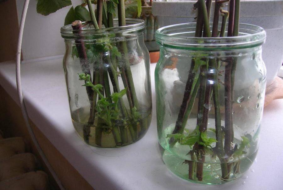 Размножение ежевики семенами