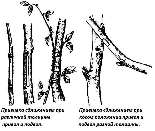 Когда колировать деревья