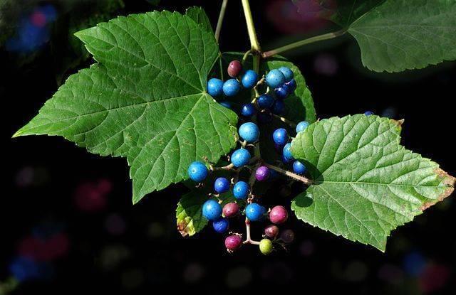 Виноградовник разнолистный