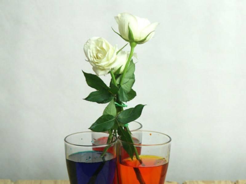 Цветные розы фото