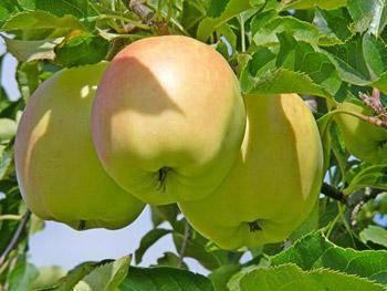 Сорт яблони старк эрлист