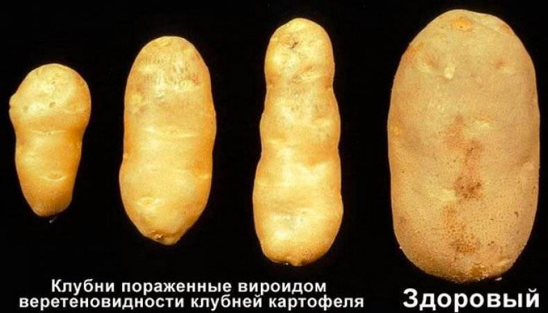 Почему картошка гниет изнутри