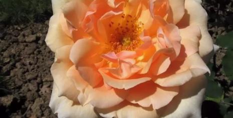 Плетущая роза фото