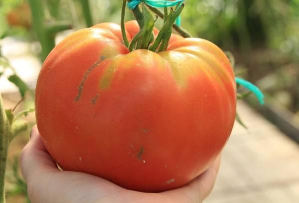 Поздние сорта томатов для теплиц