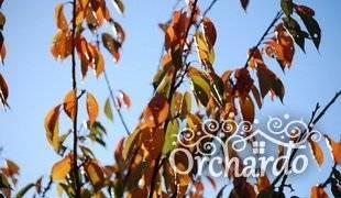 Обработка вишни осенью от вредителей и болезней