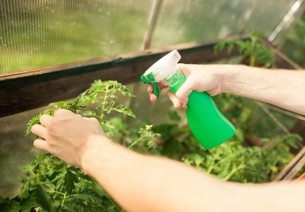 Удобрения для помидоров в теплице