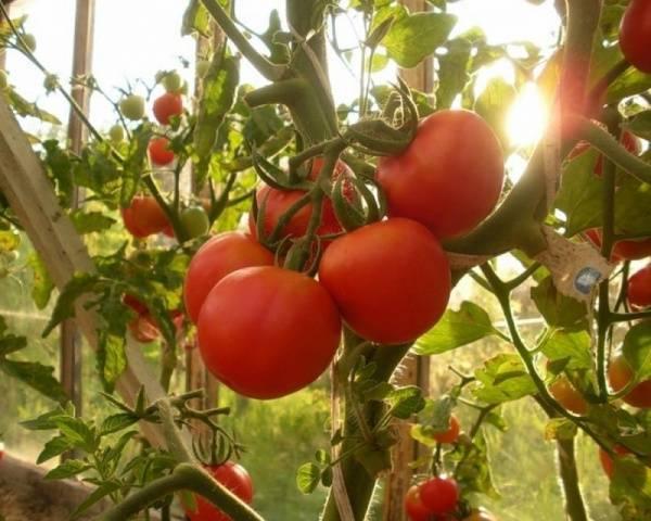 Китайские сорта томатов