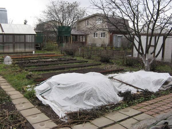 Подготовка клематисов к зиме в подмосковье