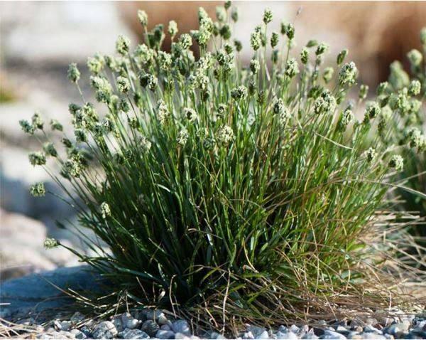 Декоративные травы фото с названиями