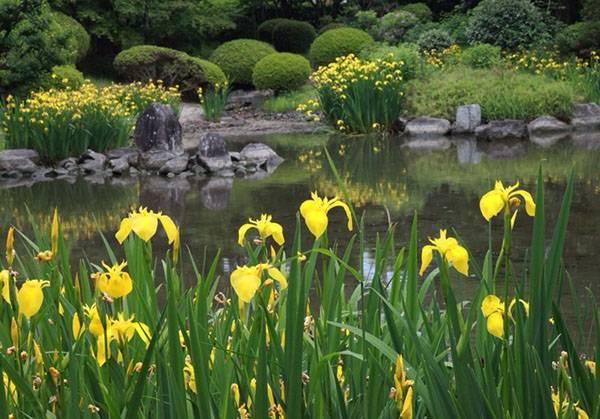 Ирис желтый фото