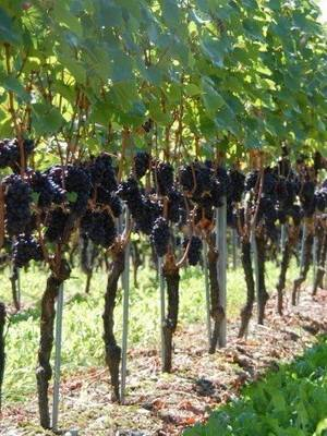 Виноград формировка куста