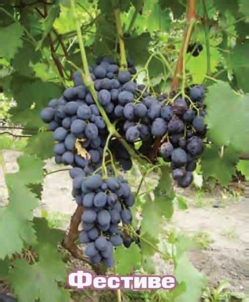 Виноград саманта