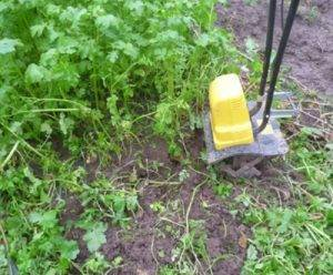 Чем полезна горчица растение на участке