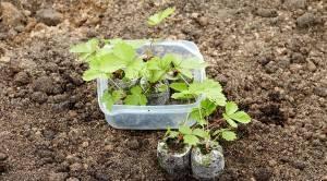 Как собрать семена клубники