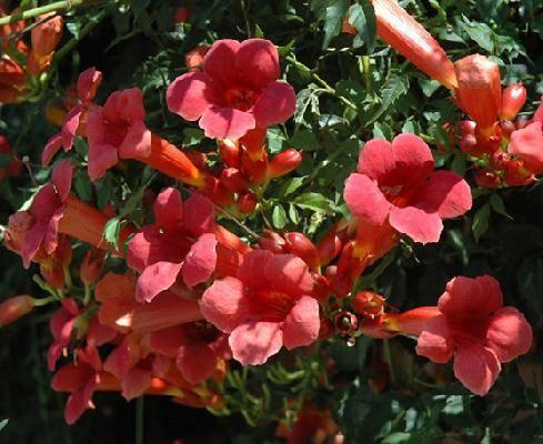 Текома растение уход фото