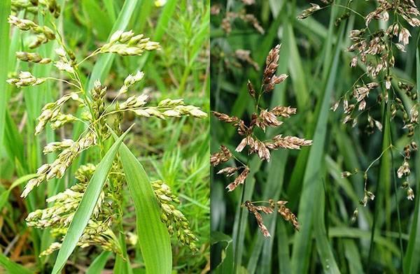 Колючая сорная трава