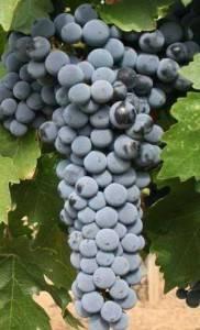 Зайбер виноград