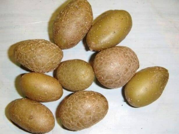 Картофель темп