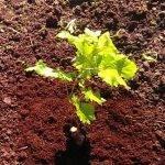 Время посадки винограда