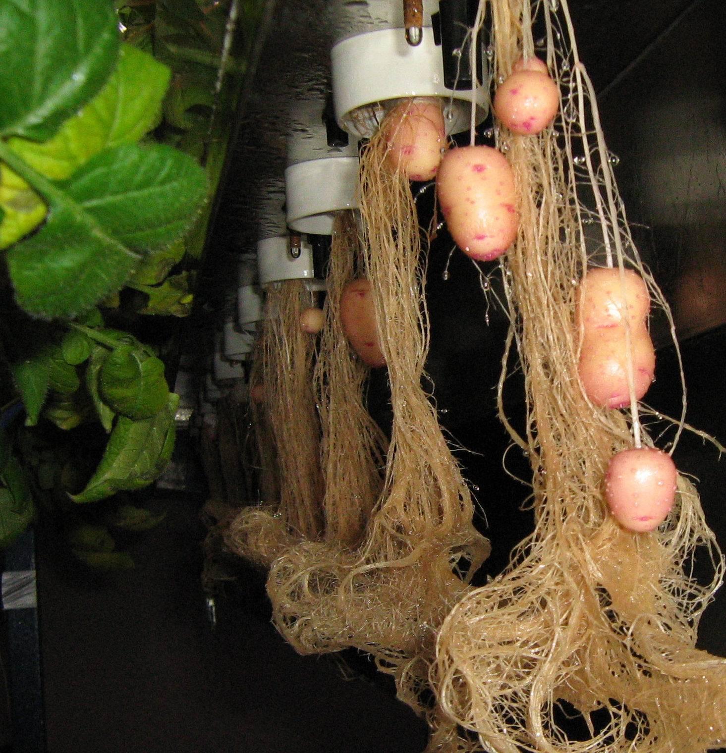 Семена картофеля с гидропоники документальные фильм о марихуане